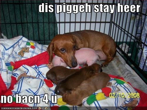 bacon crate dachshund lolpigs puppies - 1839536384