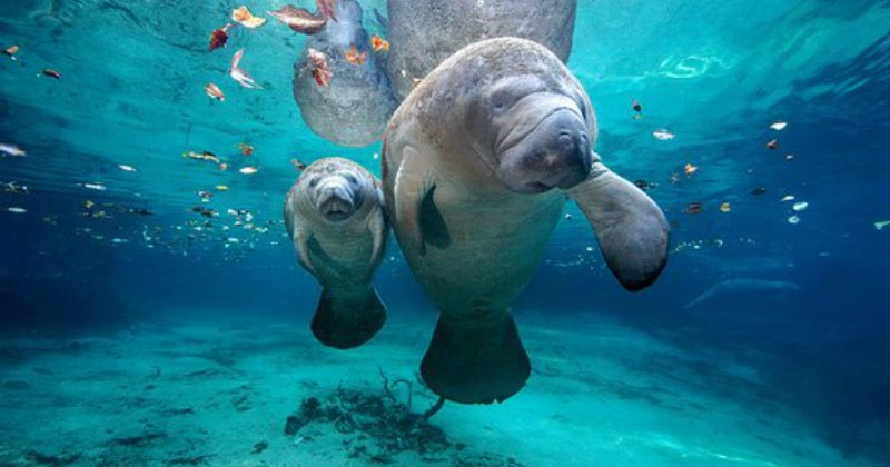 manatee list cute - 1846277