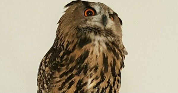slightly offended owl gets a photoshop battle