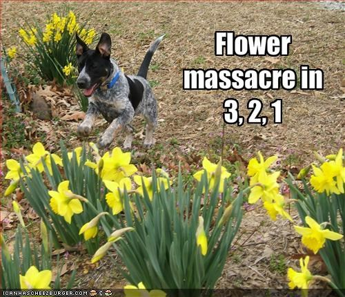 australian cattle dog destruction flowers outdoors - 1859153152