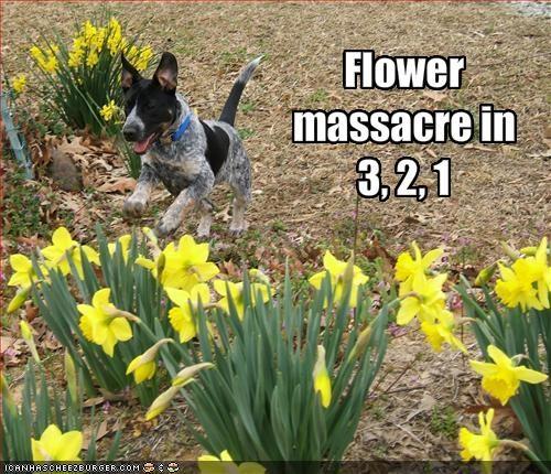 australian cattle dog destruction flowers outdoors - 1859153152