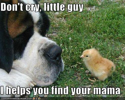 chick crying grass helping mom saint bernard