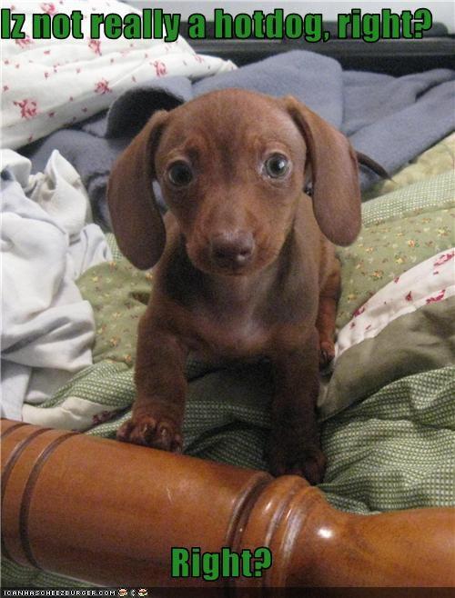 bed dachshund food hotdog impostor - 1882905856
