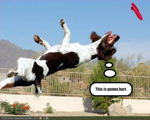 diving FAIL flying frisbee hurt spaniel whatbreed - 1893729536