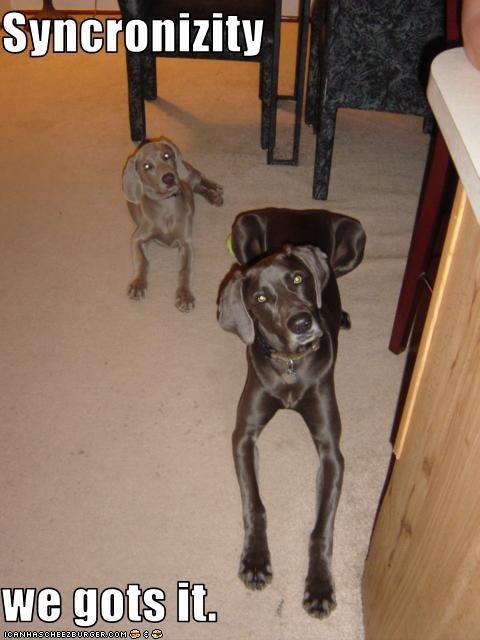 baroo head tilt synchronized twins weimaraner - 1904605440