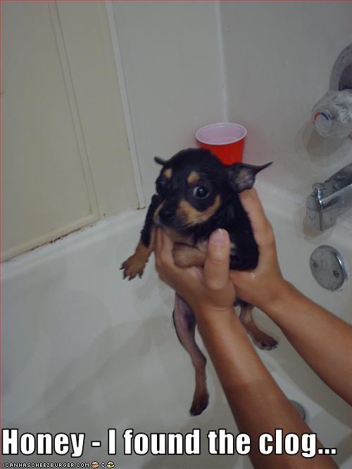 bath bathroom chihuahua hands tiny - 1905690880