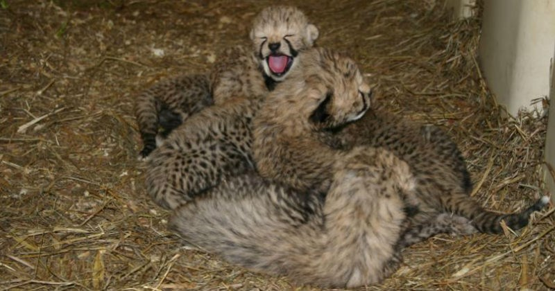 big cats cub cheetah zoo