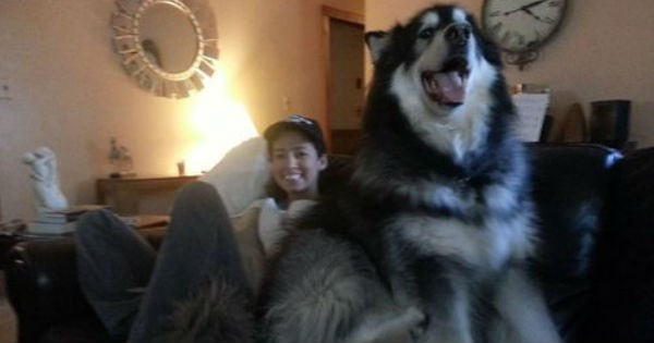 big,dogs,lap