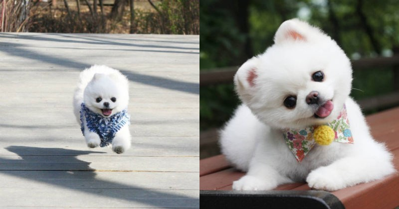 aww pomeranian dogs Fluffy cute - 1916421