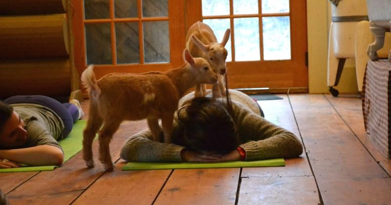 list goats cute yoga - 1917701