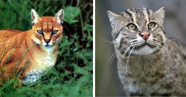 Cat pictures of 15 species of wildlife cats you probably never heard of, some big and some not so big.