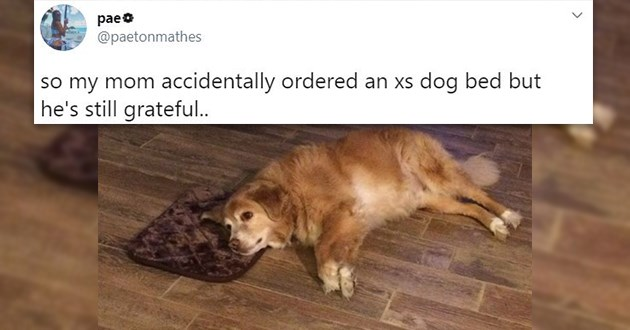 dogs tweets funny wholesome tiny bed lol twitter adorable good boy animals wholesome | pae @paetonmathes so my mom accidentally ordered an xs dog bed but he's still grateful.. cute dog lying on the floor with just its head on a too small bed