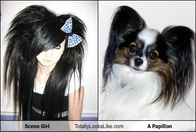 dogs papillon scene girl