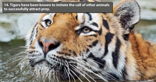 22 Crazy facts about tigers that are totally mind-blowing.