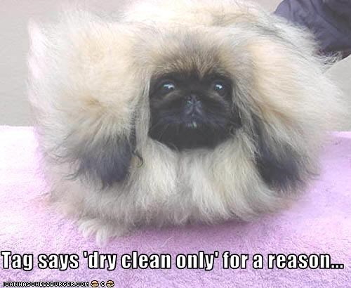 clean Fluffy pekingese puffball - 1931162368