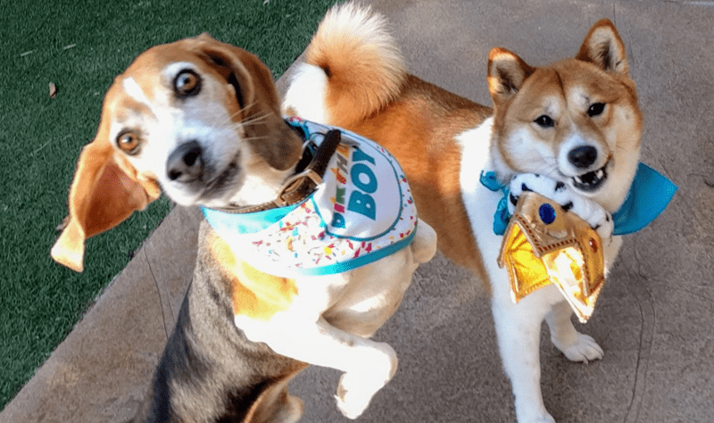 amazing dog birthday party for a cute beagle pupper