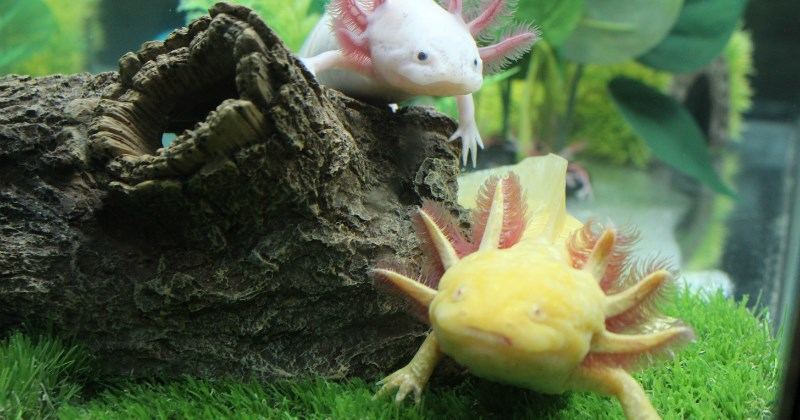 list axolotl cute weird - 1938437