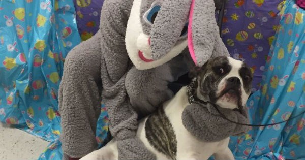 funny hilarious pics of animals meeting a person dressed as the easter bunny | pit bull dog trying to escape a hug looking scared