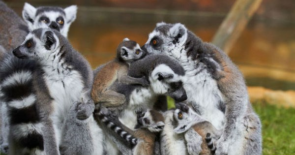 baby zoo cute lemur