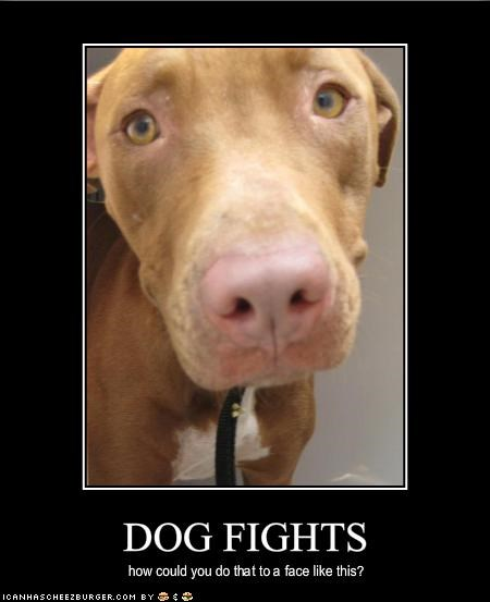 fighting pitbull Sad tragic - 1952280320
