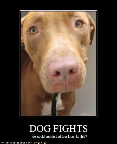 fighting pitbull Sad tragic