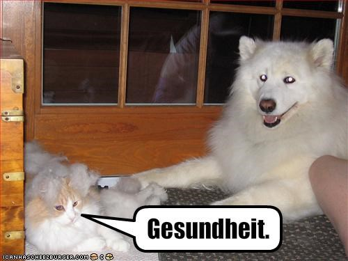 american eskimo dog,Fluffy,fur,lolcats,sneeze