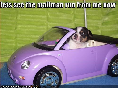 boston terrier,cars,chase,driving,mailman
