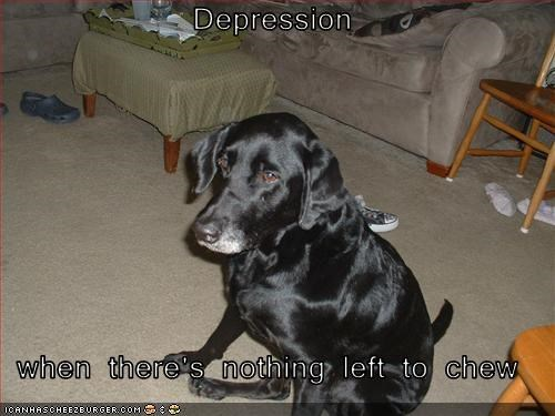 chew couch depressed labrador Sad - 2039266048