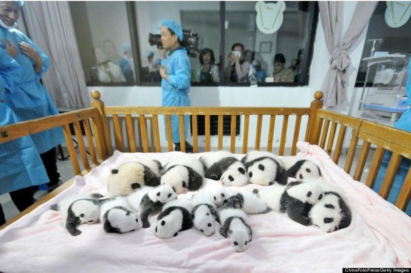 Babies cute job panda - 2046725