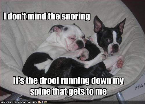 boston terrier,bulldog,chair,cuddling,drooling,friends,sleeping,snoring