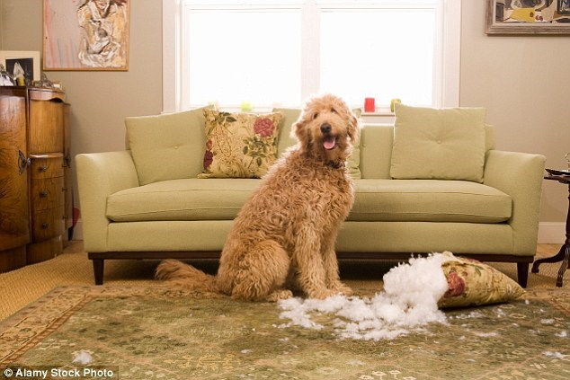 dogs pillows destroy Cats home - 2075909