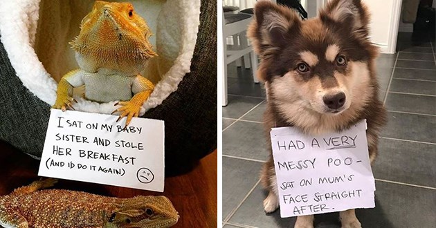 pet shaming cats dogs funny lol animals cute aww pets | I SAT ON MY BABY SISTER AND STOLE HER BREAKFAST AND DO AGAIN lizard | HAD VERY MESSY POO- SAT ON MUM's FACE STRAIGHT AFTER.