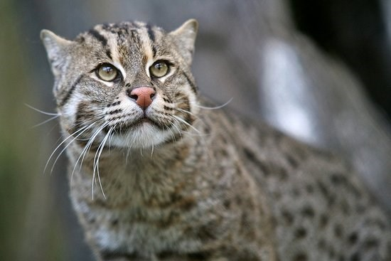 A fishing cat looking into the distance - cover photo for 10 rare cat species that exists