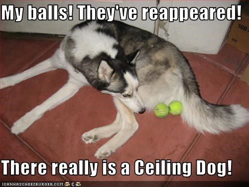 balls,ceiling dog,malamute,neutered,tennis balls