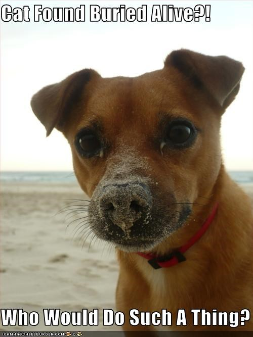 alive buried chihuahua guilty lolcats mixed breed suspicious - 2105598720