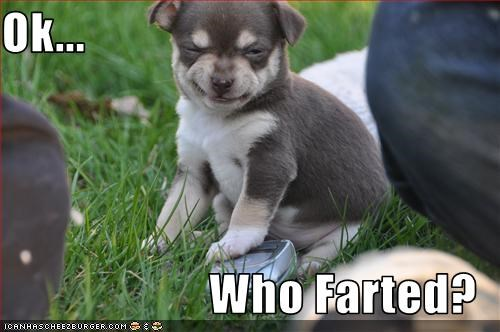 chihuahua face fart puppy smell stinky - 2107917568