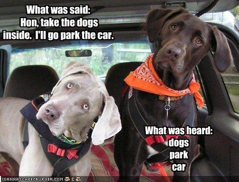 cars dog park hear labrador weimaraner - 2109371648