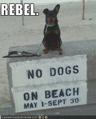 beach doberman pinscher ears rebel tough - 2119521024