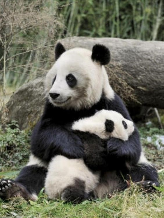 A picture of a Mom Panda Hugging her baby panda - Cover photo for cute animals picture of moms and their babies