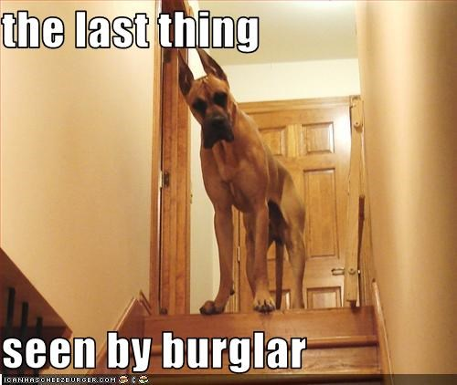 burglar great dane guard dog intimidating watch