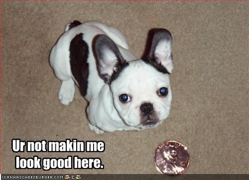 comparison french bulldogs little puppy small tiny - 2135672064
