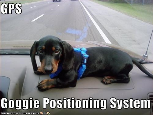 cars dachshund dashboard driving gps - 2140963584