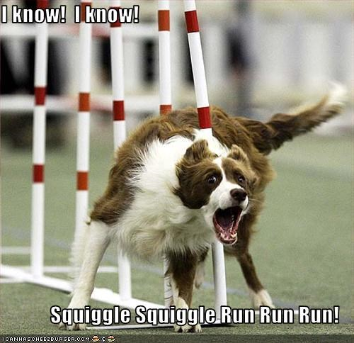 agility course border collie dog show running - 2143323904