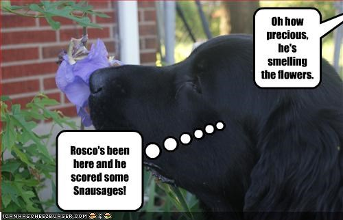 flowers,food,labrador,nose,scent,smell,snausages,sniff