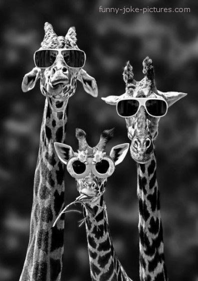 A black and white picture of three giraffes with sunglasses - cover photo for 12 funny memes and pictures of giraffes.