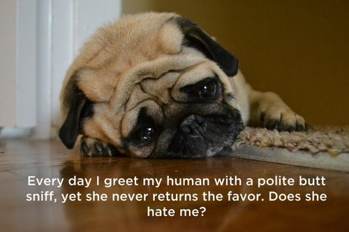 Funny meme of pug on the floor and caption about how he greets the owner everyday - cover image for 20 funny things your dog thinks about every day
