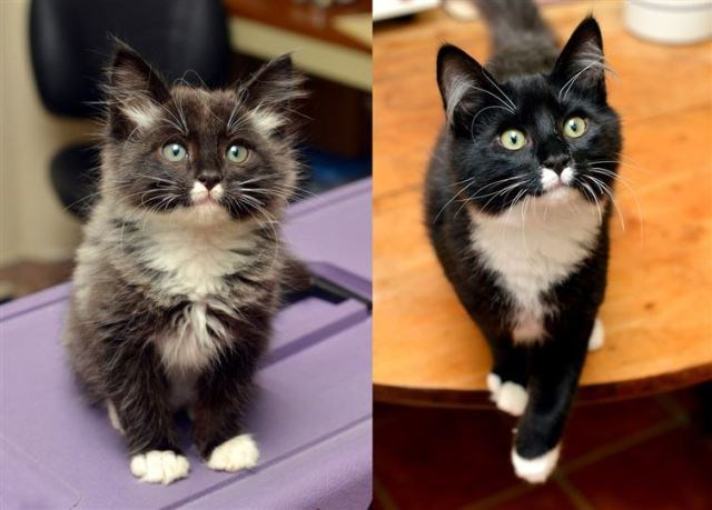 Two pictures next to each other, one of a kitten and the other is when that kitten is grown up- cover photo for caturday list of before and after of cats.