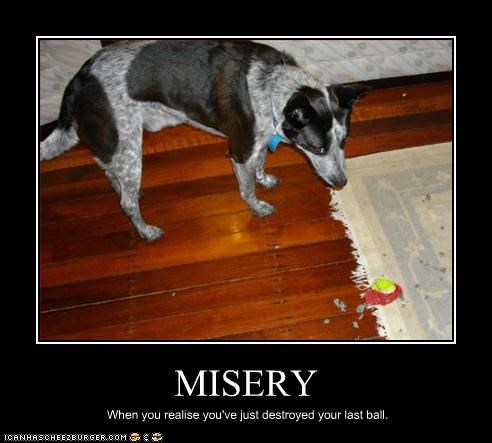 australian cattle dog,ball,blue heeler,destroyed,misery