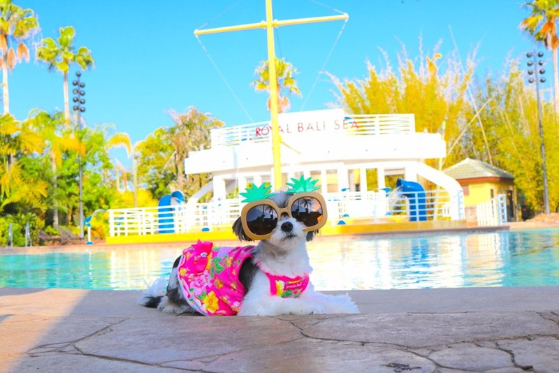 Tinkerbella is a dog travel blogger who travels all around the world - Cover image of dog dressed for vacation in front of the pool