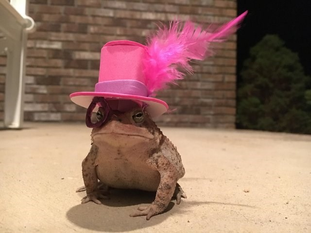 A cute toad visits a man's porch every night and receives tiny hats as a present from him - pic of frog wearing pink hat.